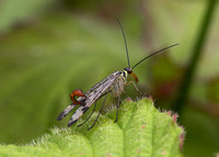 Scorpion Fly (Panorpa Communis) male