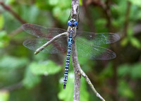 Southern Migrant Hawker (Aeshna affinis) male