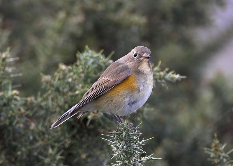 Zenfolio | Adrian Dowling Wildlife Photography | Rare British Birds
